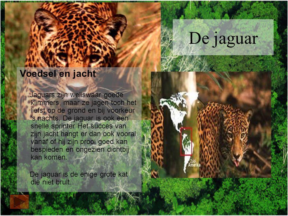 Voedsel en jacht Jaguars zijn weliswaar goede klimmers, maar ze jagen toch het liefst op de grond en bij voorkeur s nachts.