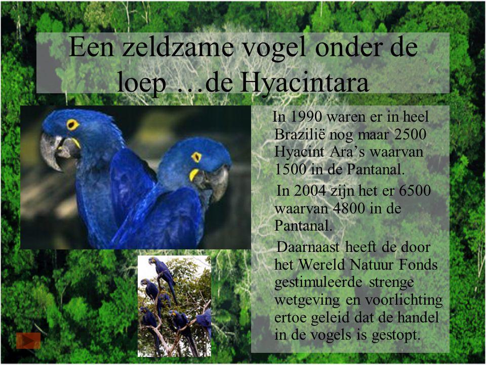 Een zeldzame vogel onder de loep …de Hyacintara In 1990 waren er in heel Brazilië nog maar 2500 Hyacint Ara's waarvan 1500 in de Pantanal.