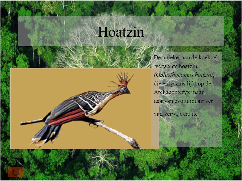Hoatzin De unieke, aan de koekoek verwante hoatzin (Ophisthocomus hoazin), die enigszins lijkt op de Archaeopteryx maar daarvan evolutionair ver van verwijderd is.
