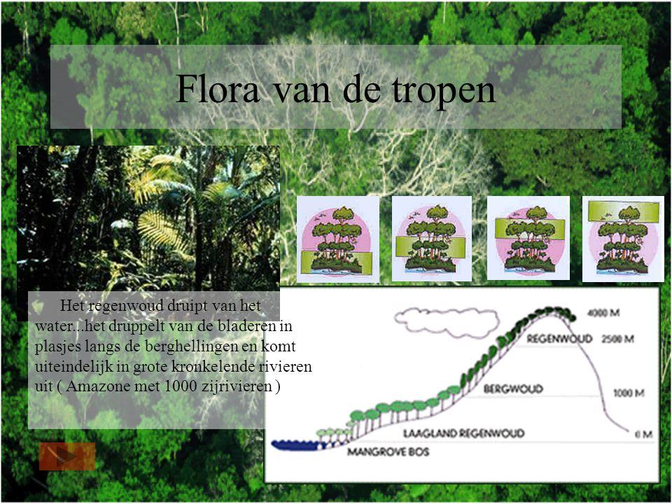 Flora van de tropen Het regenwoud druipt van het water...het druppelt van de bladeren in plasjes langs de berghellingen en komt uiteindelijk in grote kronkelende rivieren uit ( Amazone met 1000 zijrivieren )