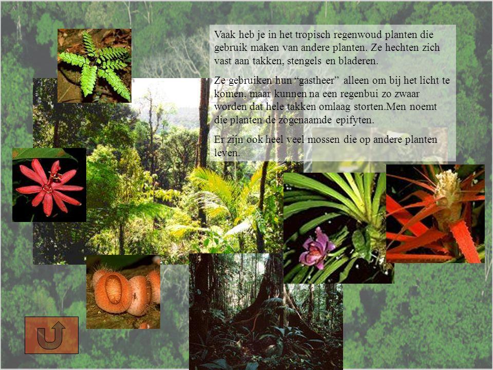 Vaak heb je in het tropisch regenwoud planten die gebruik maken van andere planten.