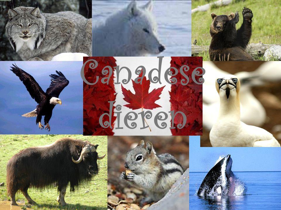 Canadese dieren