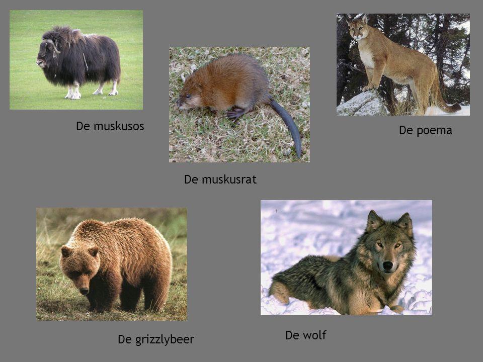 De muskusos De muskusrat De poema De wolf De grizzlybeer
