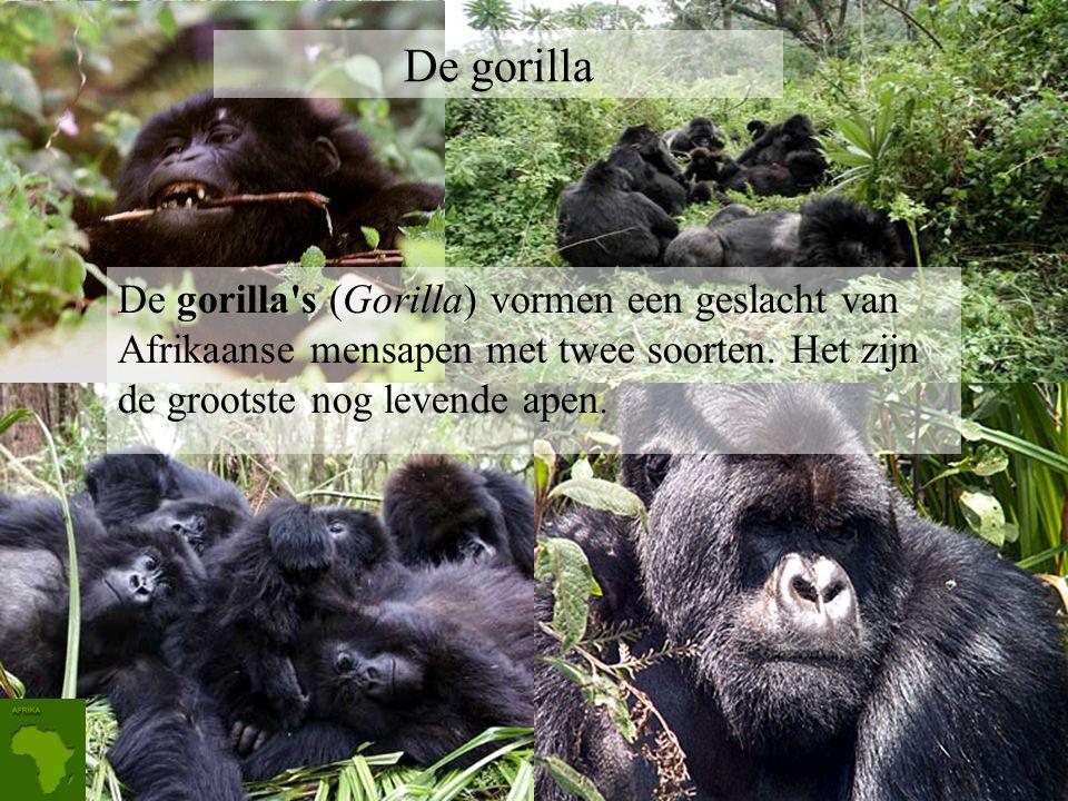 Taxonomische indeling Rijk: Animalia (Dieren) Stam:Chordata (Chordadieren) Klasse:Mammalia (Zoogdieren) Orde: Carnivora (Roofdieren) Familie: Felidae
