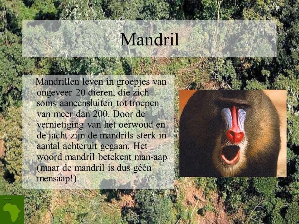 Mandril Mandrillen leven in groepjes van ongeveer 20 dieren, die zich soms aaneensluiten tot troepen van meer dan 200.