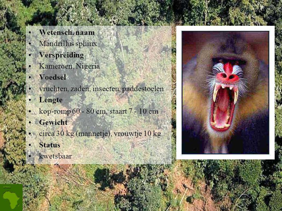 Mandril Mandrillen leven in groepjes van ongeveer 20 dieren, die zich soms aaneensluiten tot troepen van meer dan 200. Door de vernietiging van het oe
