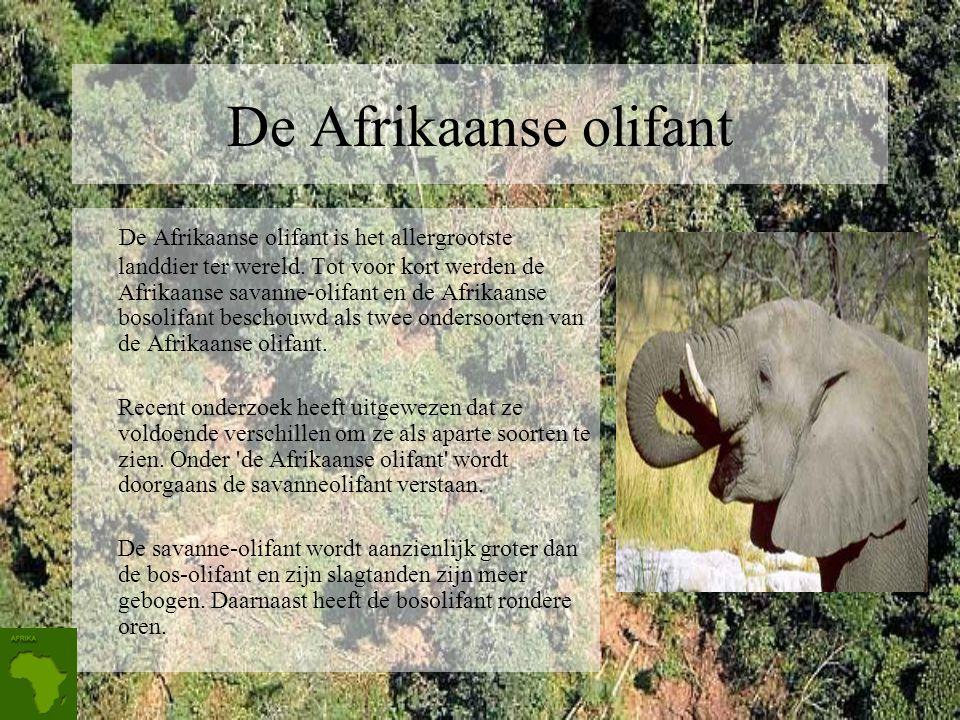 De Afrikaanse olifant De Afrikaanse olifant is het allergrootste landdier ter wereld.