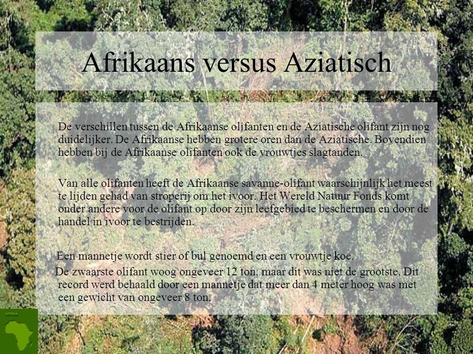 Afrikaans versus Aziatisch De verschillen tussen de Afrikaanse olifanten en de Aziatische olifant zijn nog duidelijker.