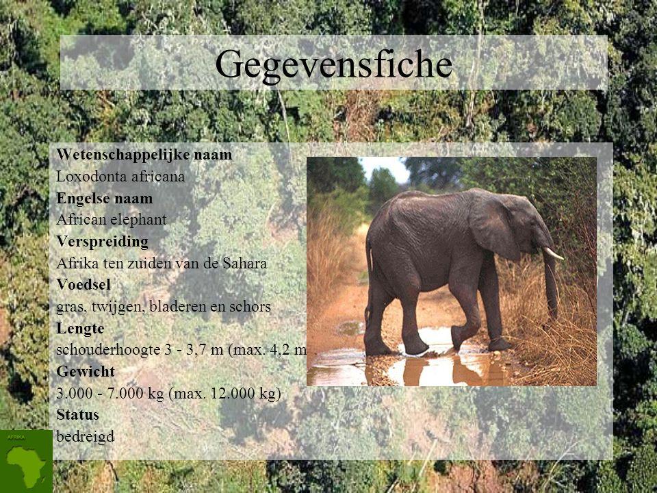 Gegevensfiche Wetenschappelijke naam Loxodonta africana Engelse naam African elephant Verspreiding Afrika ten zuiden van de Sahara Voedsel gras, twijgen, bladeren en schors Lengte schouderhoogte 3 - 3,7 m (max.