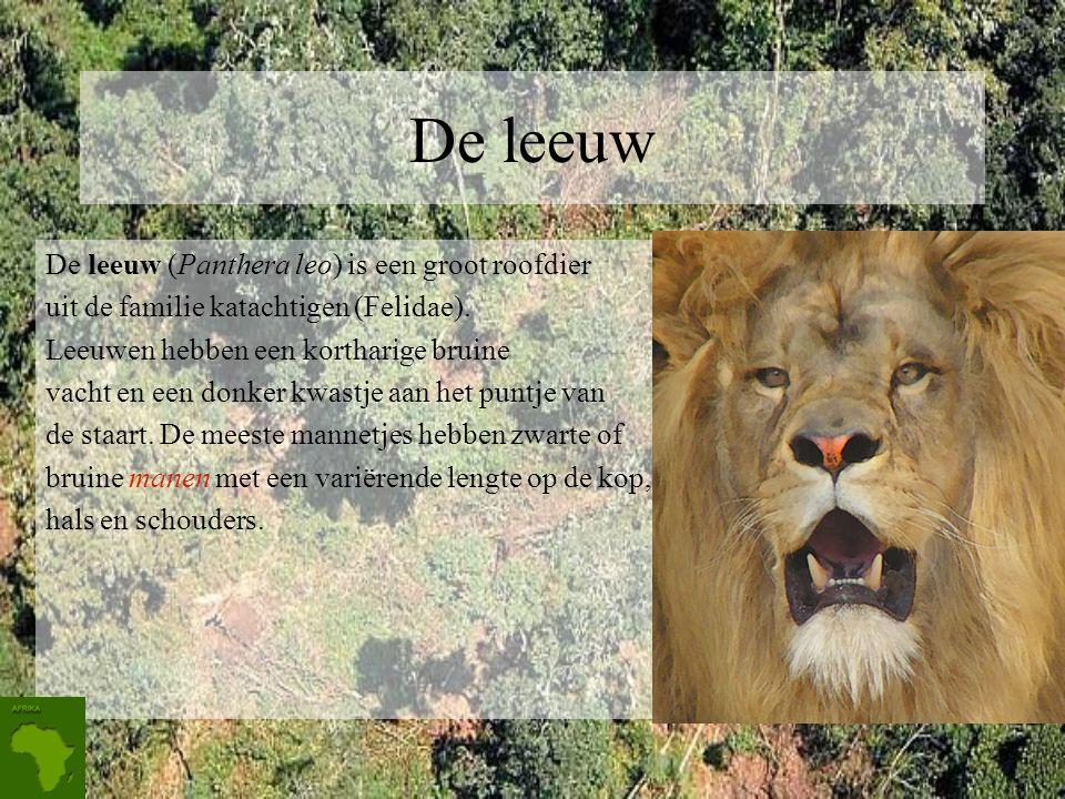 De leeuw De leeuw (Panthera leo) is een groot roofdier uit de familie katachtigen (Felidae).