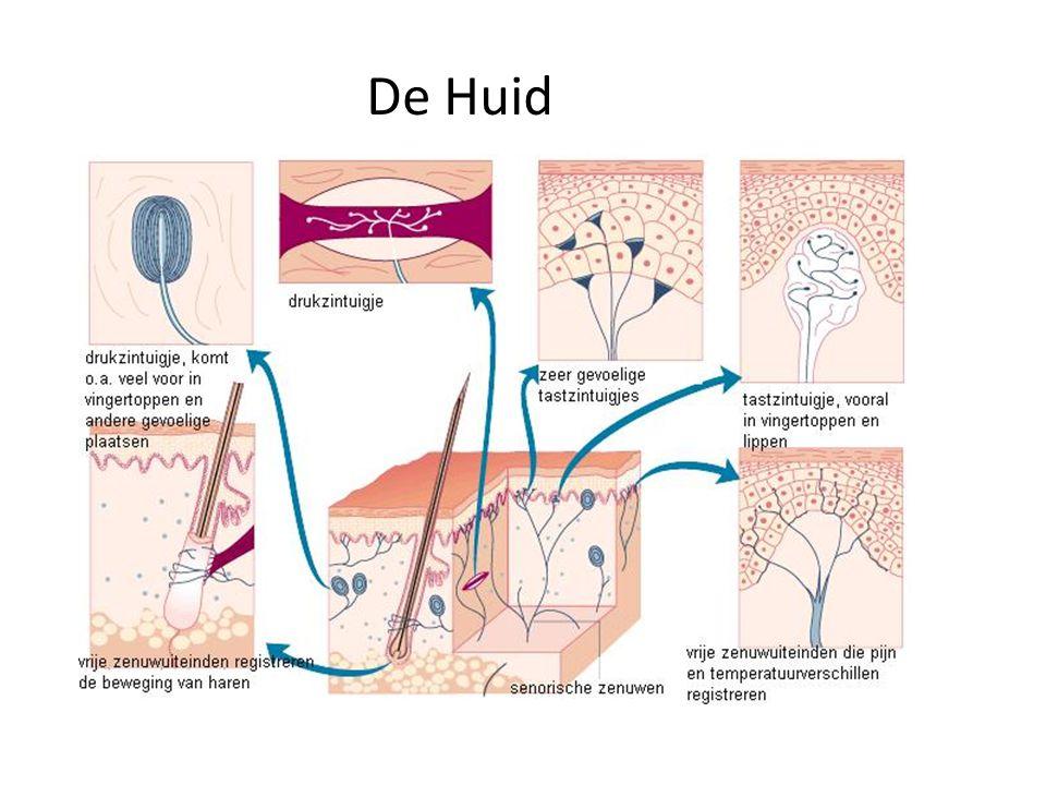 baroreceptoren Baroreceptoren in de wanden van de aorta en halsslagaders meten de oprekking van de wand en geven deze informatie door aan de hersenen.