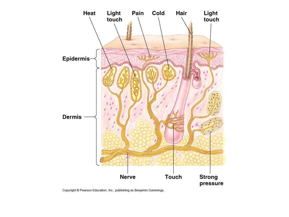 chemoreceptoren Chemoreceptoren in de wanden van de aorta en halsslagaders meten de pCO 2 of koolstofdioxidespanning van het bloed en geven deze informatie door aan de hersenen.