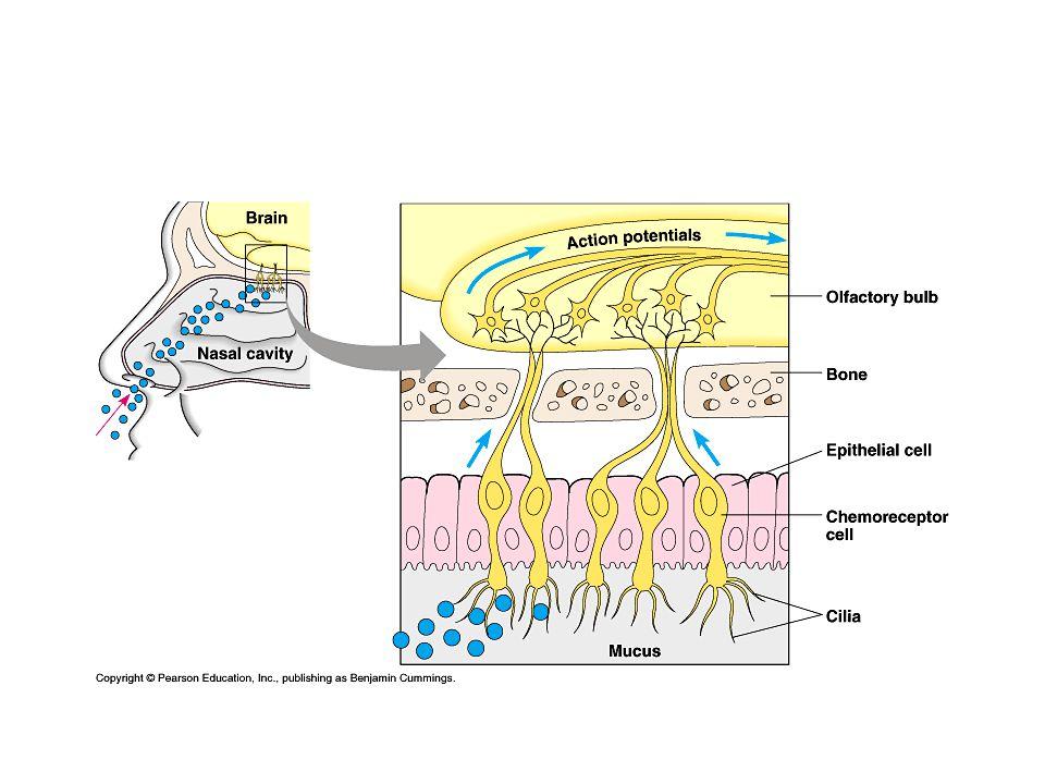 Proprioceptie Spierspoeltjes meten spierspanning Peessensor meet strekking van pees Evenwichtszintuig in oor