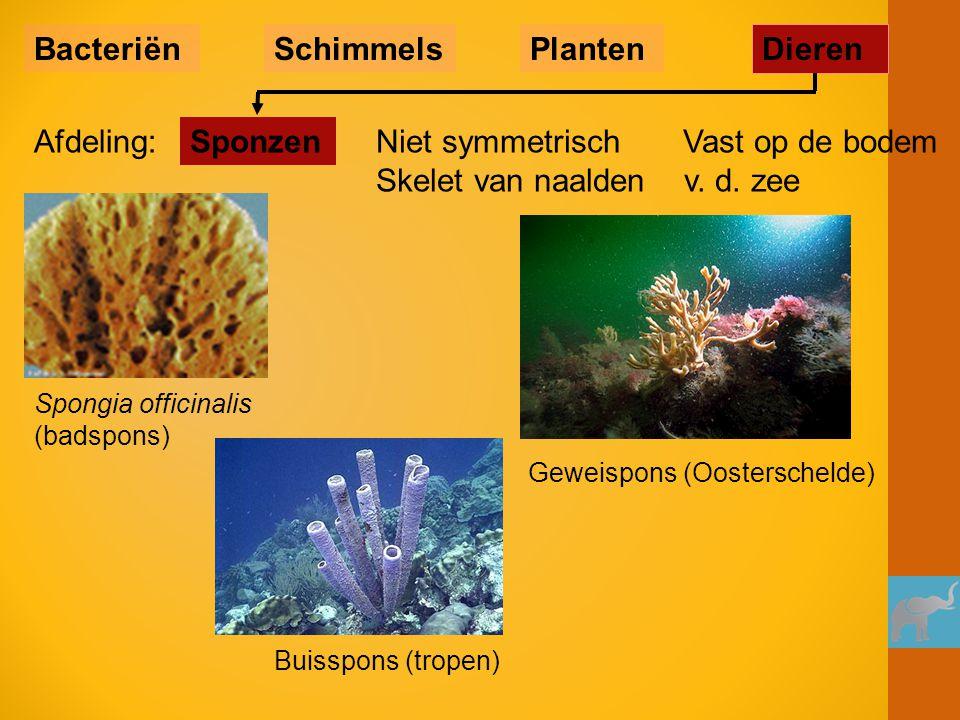 Buisspons (tropen) Spongia officinalis (badspons) Geweispons (Oosterschelde) Niet symmetrisch Vast op de bodem Skelet van naalden v. d. zee Sponzen Ba