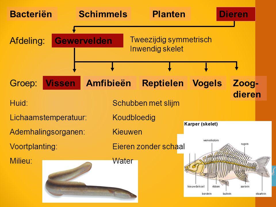 VissenReptielenAmfibieënVogels Tweezijdig symmetrisch Inwendig skelet Gewervelden BacteriënSchimmelsPlanten Dieren Afdeling: Groep:Zoog- dieren Huid: