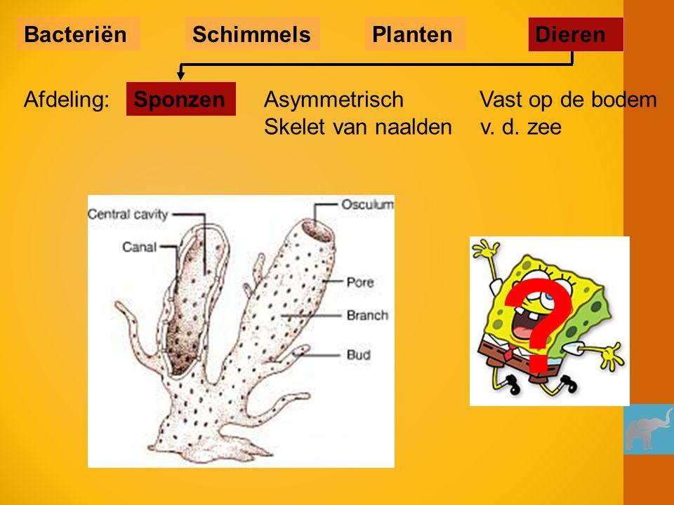 Buisspons (tropen) Spongia officinalis (badspons) Geweispons (Oosterschelde) Niet symmetrisch Vast op de bodem Skelet van naalden v.