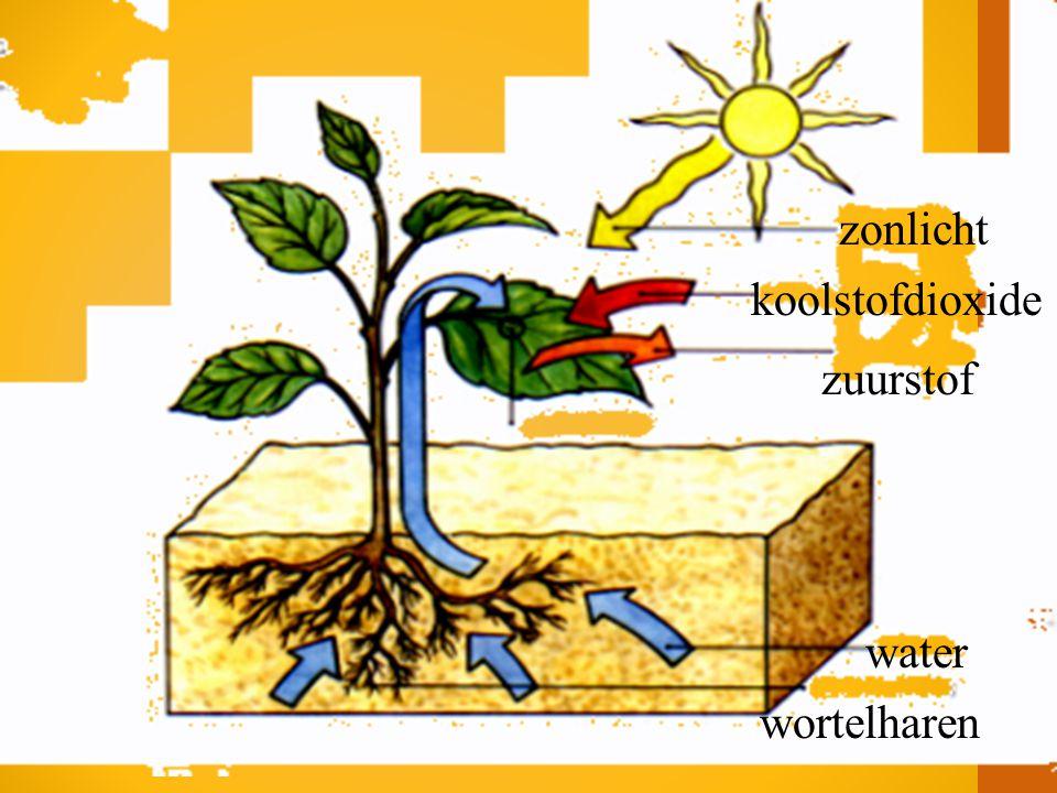 zonlicht koolstofdioxide zuurstof water wortelharen