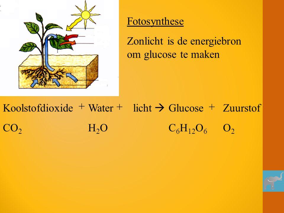 Koolstofdioxide CO 2 + Water H 2 O + licht  Glucose C 6 H 12 O 6 + Zuurstof O 2 Fotosynthese Zonlicht is de energiebron om glucose te maken