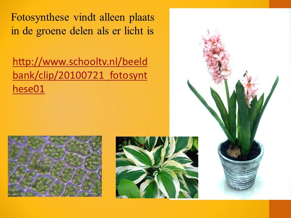 Fotosynthese vindt alleen plaats in de groene delen als er licht is http://www.schooltv.nl/beeld bank/clip/20100721_fotosynt hese01