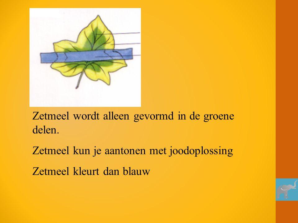 Zetmeel wordt alleen gevormd in de groene delen. Zetmeel kun je aantonen met joodoplossing Zetmeel kleurt dan blauw