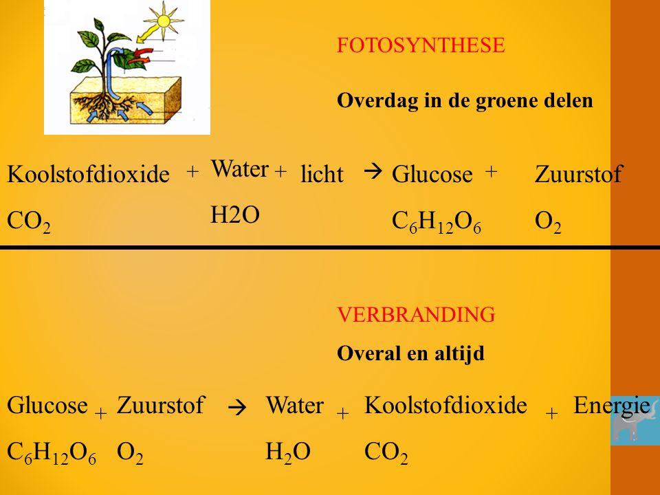 Koolstofdioxide CO 2 + Water H2O + licht  Glucose C 6 H 12 O 6 + Zuurstof O 2 FOTOSYNTHESE Koolstofdioxide CO 2 Water H 2 O ++ Glucose C 6 H 12 O 6 +