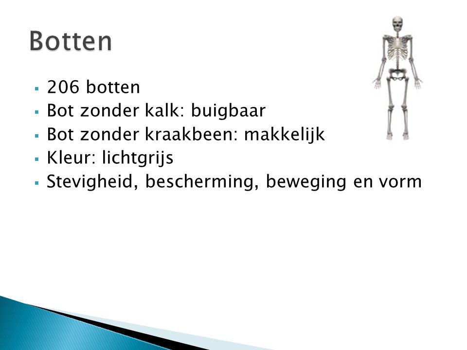  206 botten  Bot zonder kalk: buigbaar  Bot zonder kraakbeen: makkelijk breekbaar  Kleur: lichtgrijs  Stevigheid, bescherming, beweging en vorm