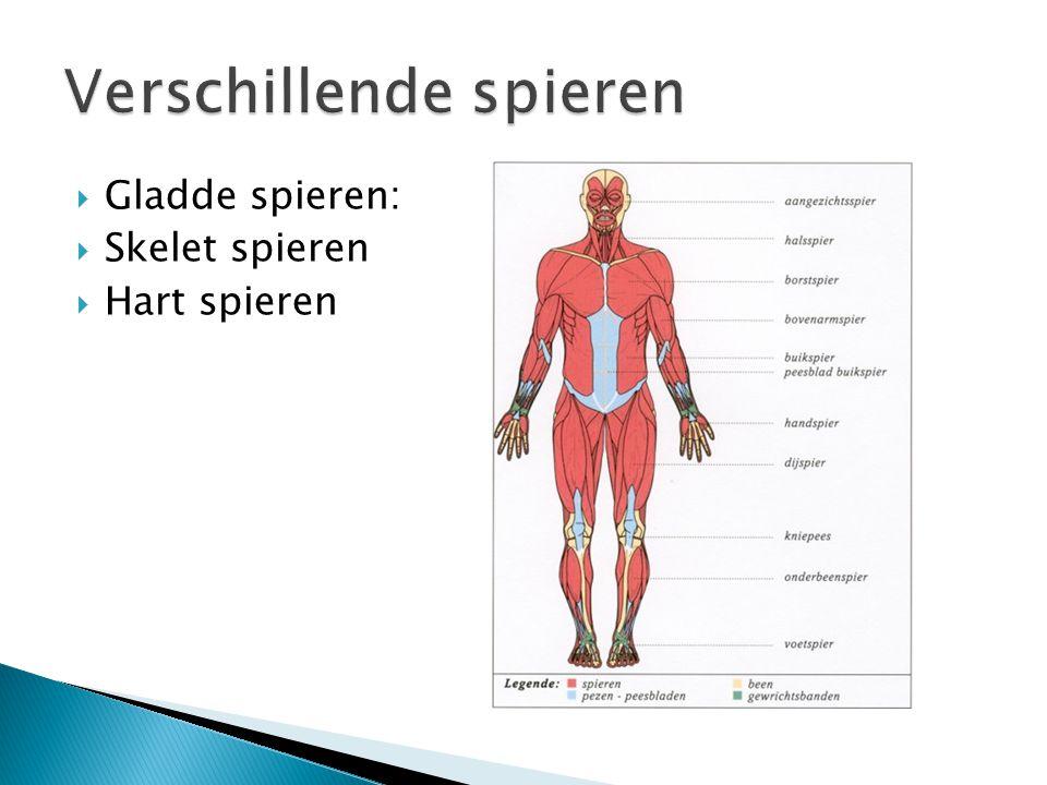 Gladde spieren:  Skelet spieren  Hart spieren