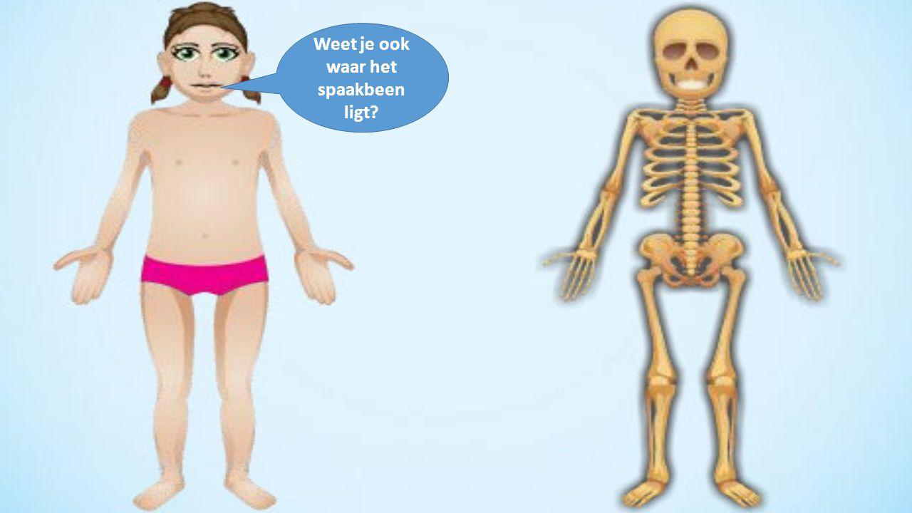 Weet je ook waar het spaakbeen ligt?