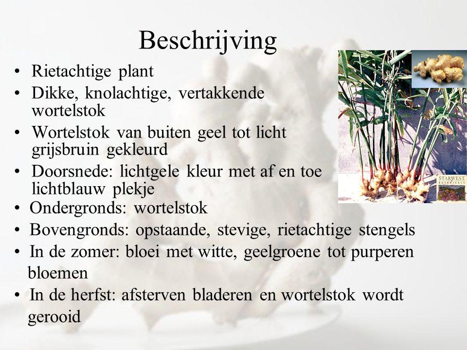 Beschrijving Rietachtige plant Dikke, knolachtige, vertakkende wortelstok Wortelstok van buiten geel tot licht grijsbruin gekleurd Doorsnede: lichtgel