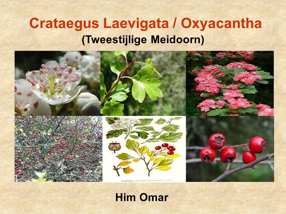 Classificatie & Benaming Familie: Rosaceae (Roosachtigen) Subfamilie: Maloideae (Appelachtigen) Geslacht: Crataegus (Meidoorn)  200 soorten Botanische naam: Afgeleid van het Grieks & Latijns Crataegus = kratos (hardheid van het hout) Laevigata (Latijns) = glad  bast is glad bij begin groei Oxyacantha = oxus (scherp) + akantha (doorn)  struik met scherpe doorns Meidoorn = struik bloeit in maand mei en heeft doornen In de Volksmond: o.m.