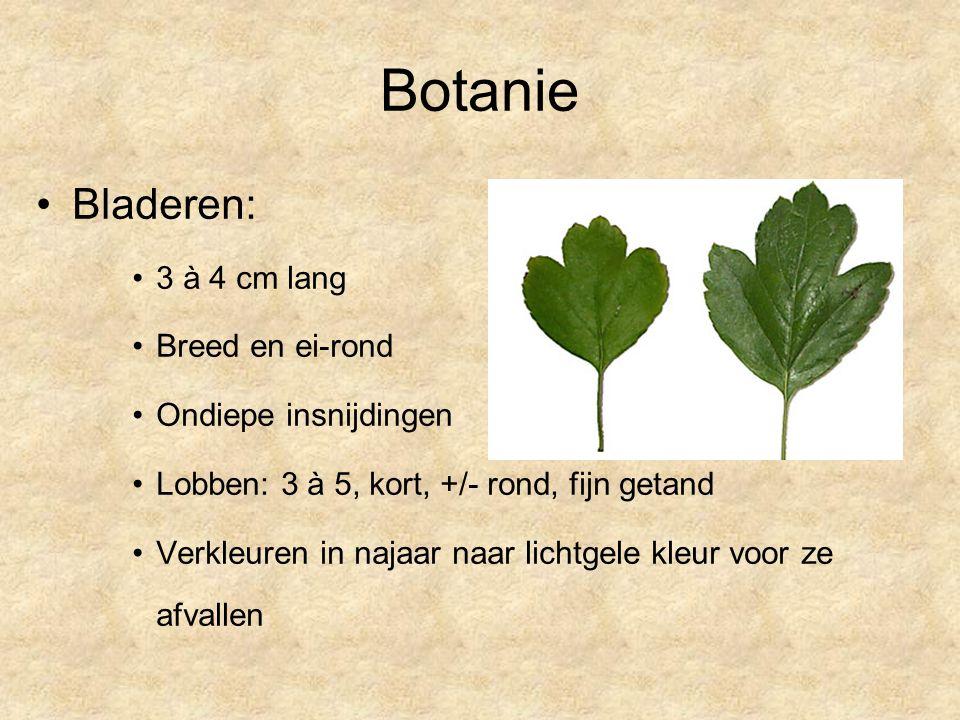 Botanie Bladeren: 3 à 4 cm lang Breed en ei-rond Ondiepe insnijdingen Lobben: 3 à 5, kort, +/- rond, fijn getand Verkleuren in najaar naar lichtgele kleur voor ze afvallen