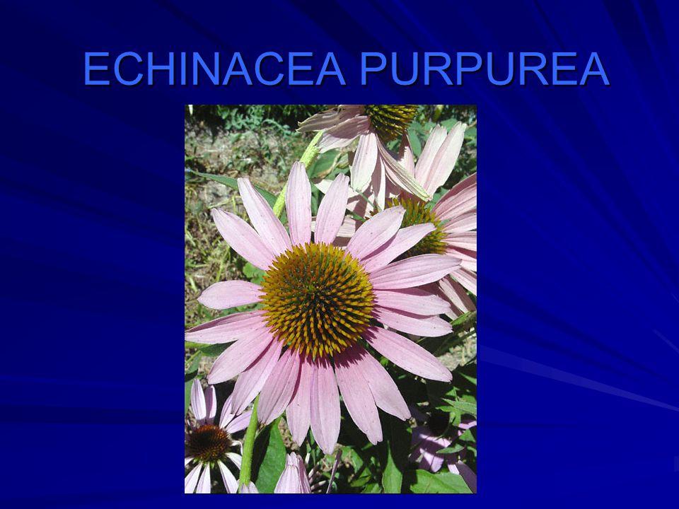Algemeen Asteraceae (Compositae) familie negen soorten, waarvan drie algemeen gebruikt (E.
