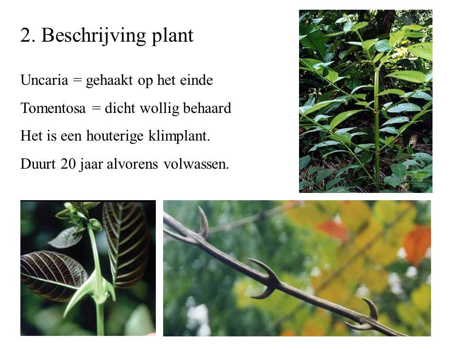 2. Beschrijving plant Uncaria = gehaakt op het einde Tomentosa = dicht wollig behaard Het is een houterige klimplant. Duurt 20 jaar alvorens volwassen