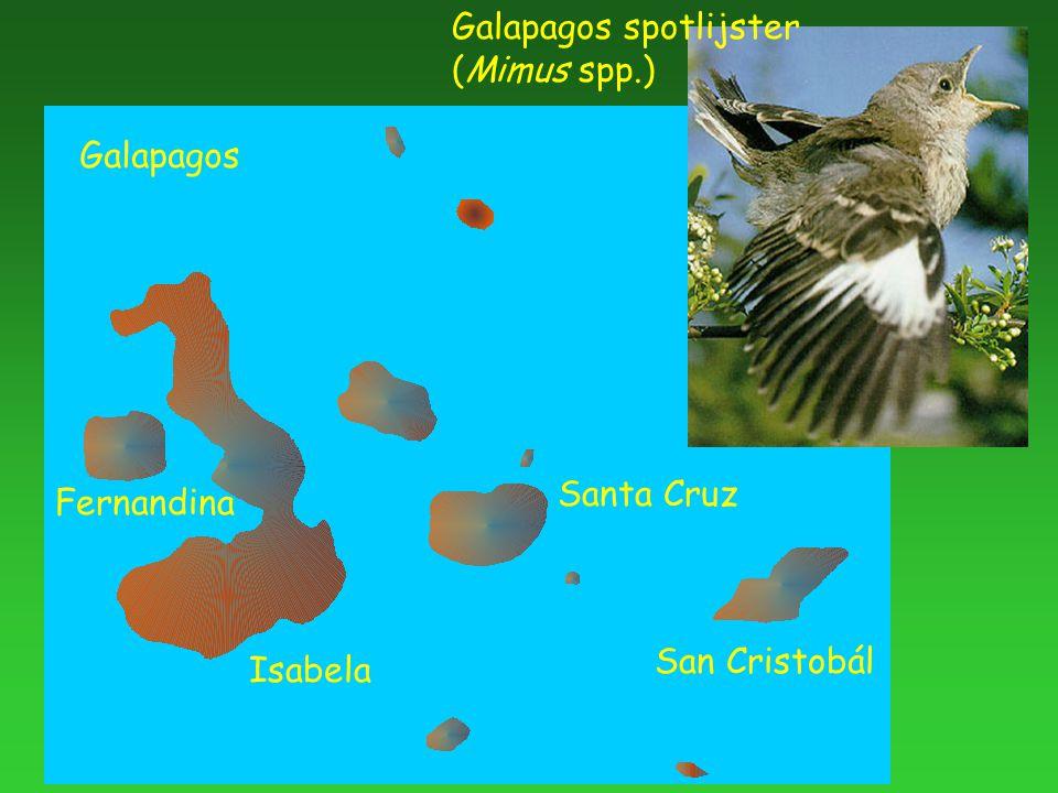 Galapagos spotlijster (Mimus spp.) Galapagos San Cristobál Santa Cruz Isabela Fernandina