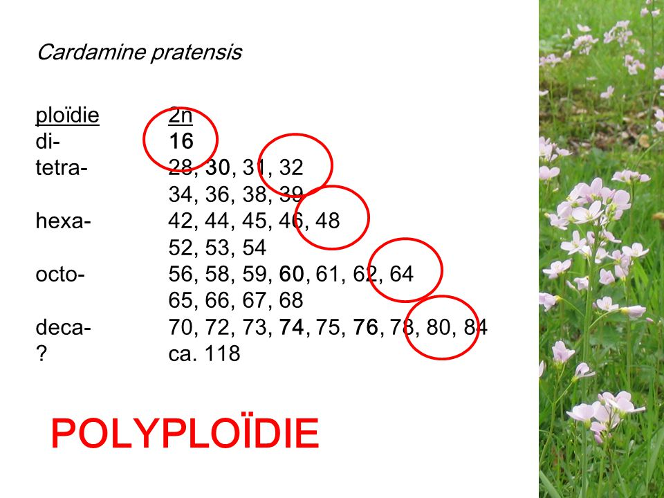 ploïdie2n di-16 tetra-28, 30, 31, 32 34, 36, 38, 39 hexa- 42, 44, 45, 46, 48 52, 53, 54 octo-56, 58, 59, 60, 61, 62, 64 65, 66, 67, 68 deca-70, 72, 73