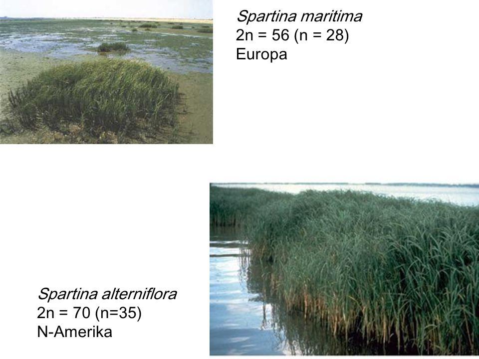 Spartina maritima 2n = 56 (n = 28) Europa Spartina alterniflora 2n = 70 (n=35) N-Amerika