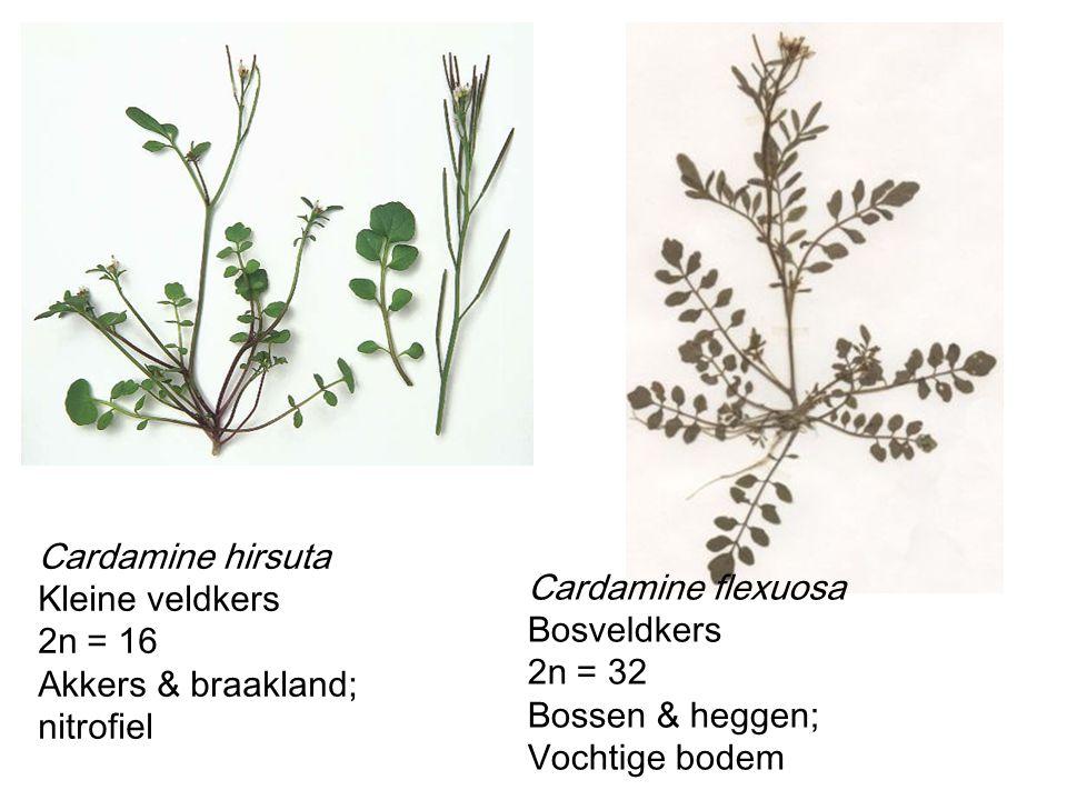 Cardamine hirsuta Kleine veldkers 2n = 16 Akkers & braakland; nitrofiel Cardamine flexuosa Bosveldkers 2n = 32 Bossen & heggen; Vochtige bodem