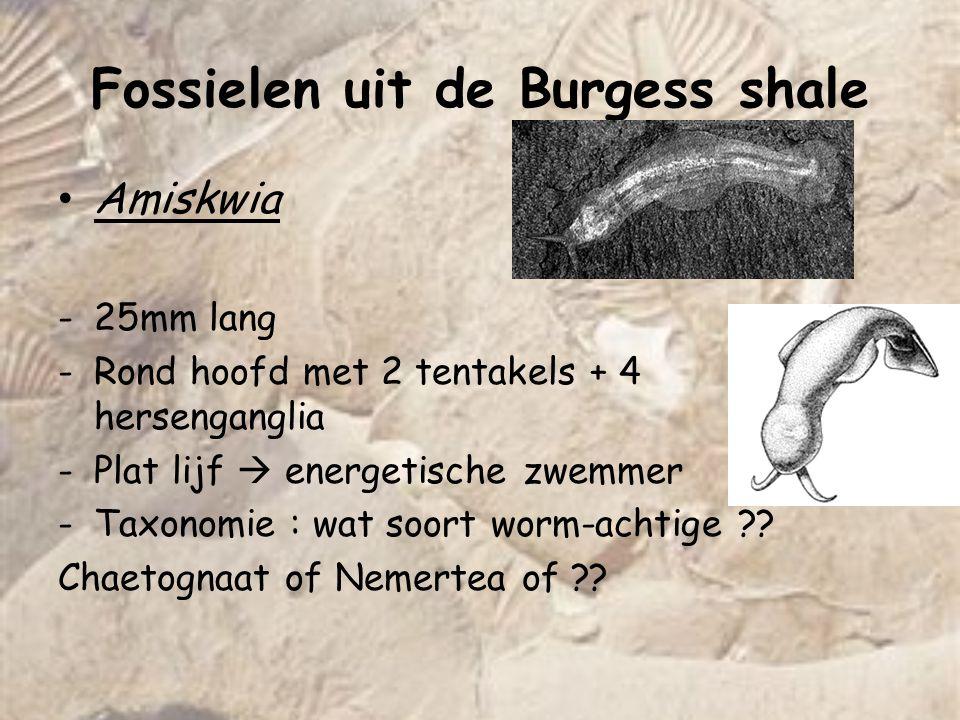 Fossielen uit de Burgess shale Amiskwia -25mm lang -Rond hoofd met 2 tentakels + 4 hersenganglia -Plat lijf  energetische zwemmer -Taxonomie : wat so