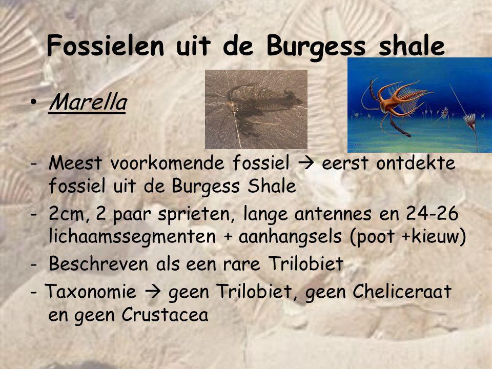Fossielen uit de Burgess shale Marella -Meest voorkomende fossiel  eerst ontdekte fossiel uit de Burgess Shale -2cm, 2 paar sprieten, lange antennes en 24-26 lichaamssegmenten + aanhangsels (poot +kieuw) -Beschreven als een rare Trilobiet - Taxonomie  geen Trilobiet, geen Cheliceraat en geen Crustacea