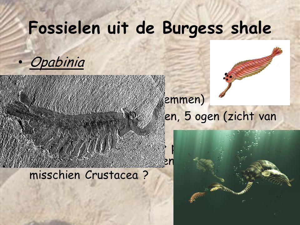 Opabinia - Predator (zeebodem + zwemmen) -4 à 7 cm, gepaarde kieuwen, 5 ogen (zicht van 360°), grijpklauw -Taxonomisch probleem  past niet in bekende Phyla (geen poten dus geen Arthropood) misschien Crustacea .