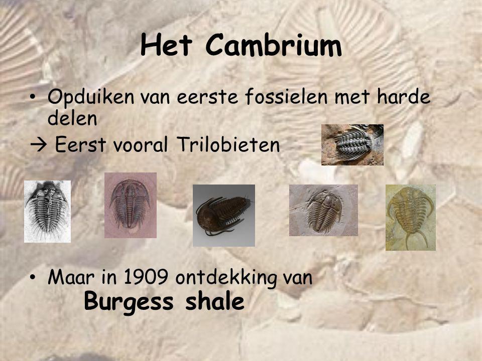 Het Cambrium Opduiken van eerste fossielen met harde delen  Eerst vooral Trilobieten Maar in 1909 ontdekking van Burgess shale