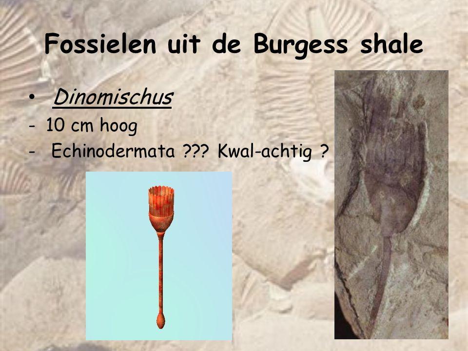 Fossielen uit de Burgess shale Wiwaxia -Midden cambrium -Bilaterale symmetrie, pieken op de rug, bedekt met sclerieten die het zacht weefsel beschermen -Taxonomie ??.