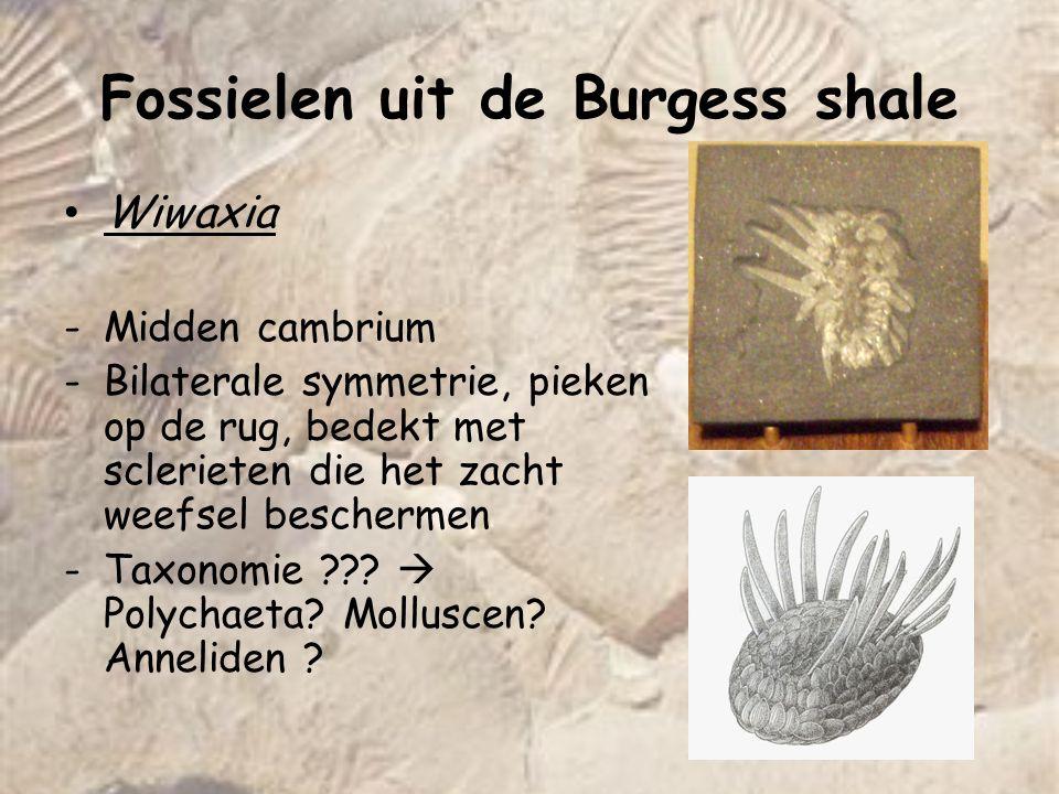 Fossielen uit de Burgess shale Amiskwia -25mm lang -Rond hoofd met 2 tentakels + 4 hersenganglia -Plat lijf  energetische zwemmer -Taxonomie : wat soort worm-achtige ?.