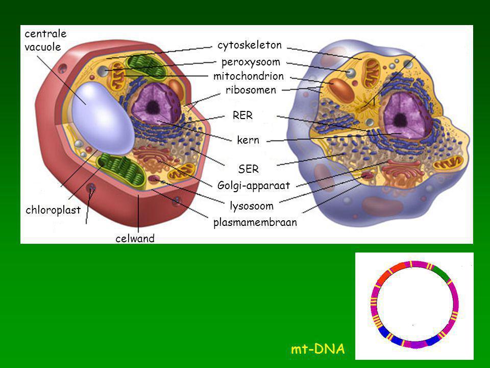 cytoskeleton mitochondrion peroxysoom ribosomen RER kern SER Golgi-apparaat lysosoom plasmamembraan celwand chloroplast centrale vacuole mt-DNA