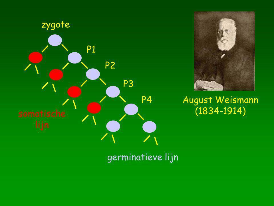 August Weismann (1834-1914) zygote P1 P2 P3 P4 germinatieve lijn somatische lijn