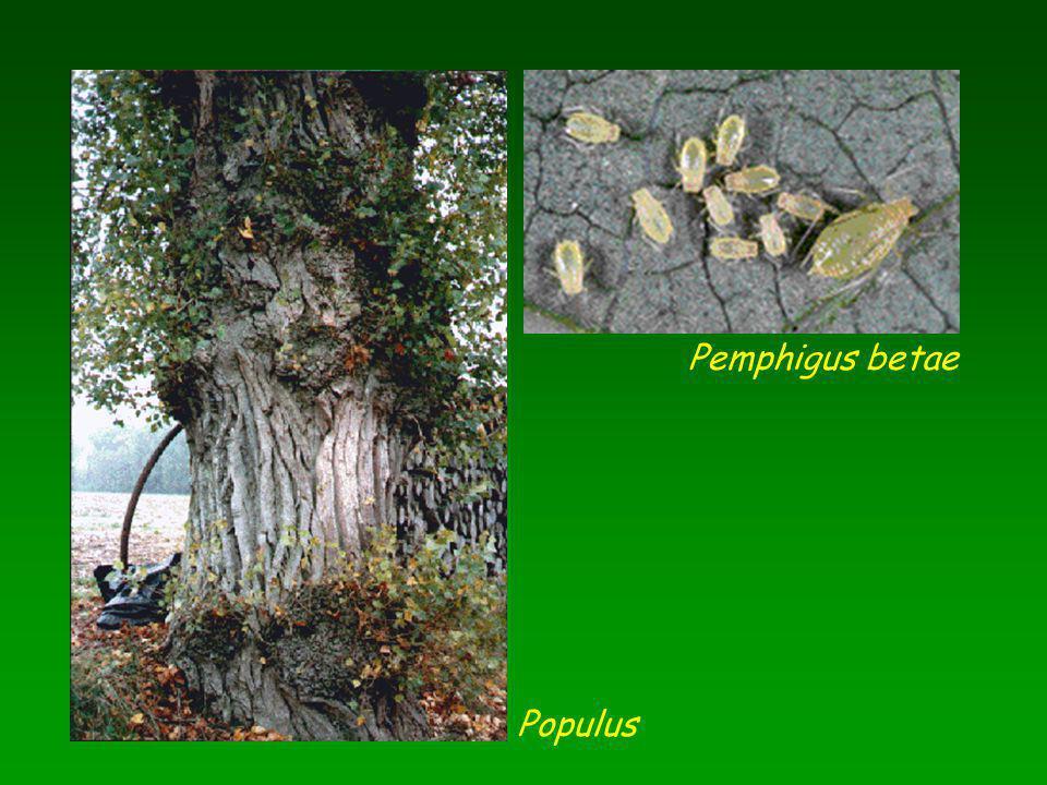 Populus Pemphigus betae