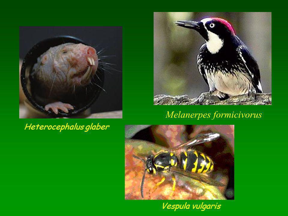 Melanerpes formicivorus Heterocephalus glaber Vespula vulgaris