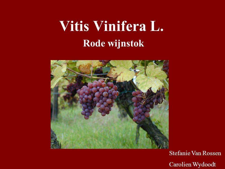 Wetenschappelijke indeling Koninkrijk: Plantae Klasse: Magnoliopsida Orde: Rhamnales Familie: Vitaceae Genus: Vitis Species: V.Vinifera
