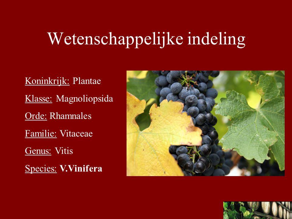 Latijnse naam: Vitis Vinifera L.