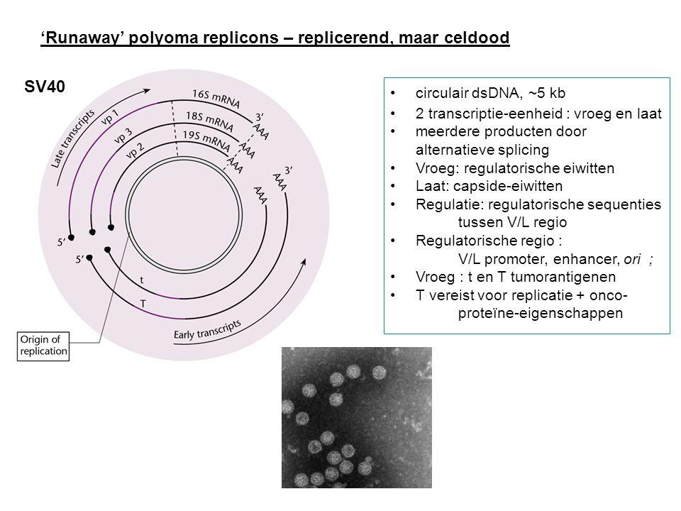 SV40 circulair dsDNA, ~5 kb 2 transcriptie-eenheid : vroeg en laat meerdere producten door alternatieve splicing Vroeg: regulatorische eiwitten Laat: